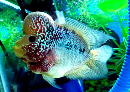 Jenis Ikan Louhan Dan Harganya