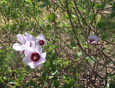 Sturt's desert rose, Gossypium sturtianum