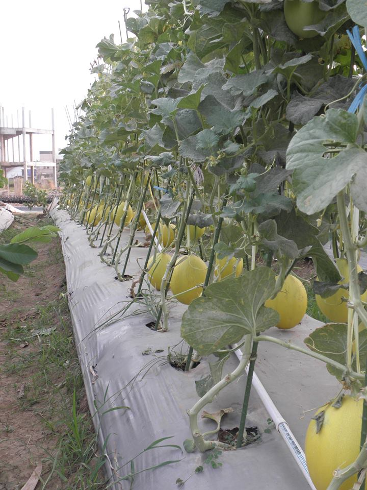Varietas Tanaman Melon Orange Meta