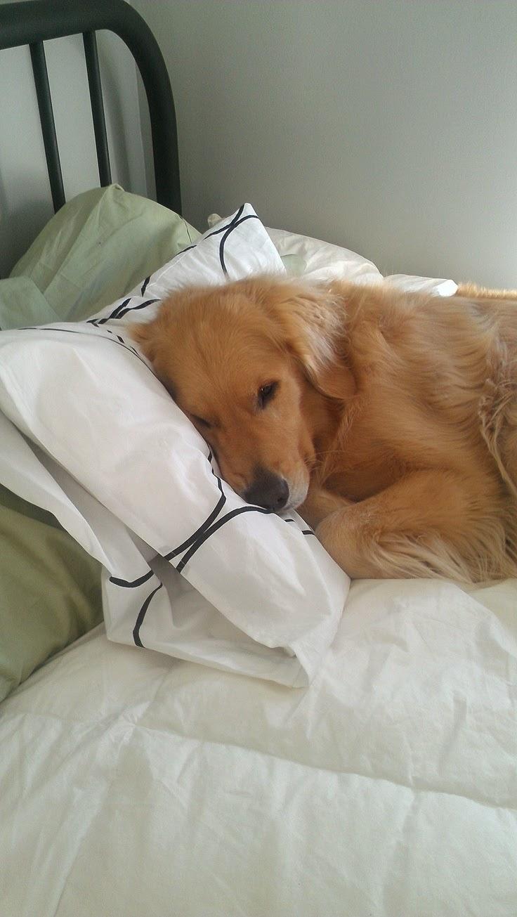 Sleepy Cute Golden retriever puppy looking Beautiful