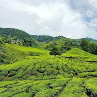 Ladang Teh Cameron Valley (The Bharat Tea)