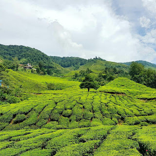 Ladang Teh Cameron Valley (The Bharat Tea)
