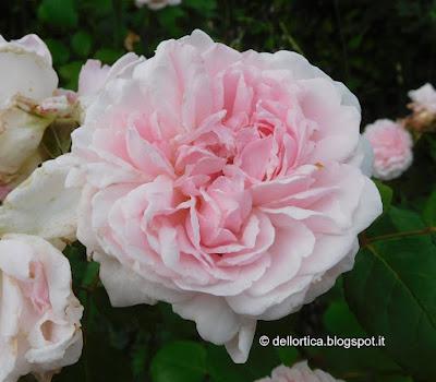rosa eglantyne confetture petali per tisane orto erbe aromatiche ed officinali nel giardino della fattoria didattica dell ortica a Savigno Valsamoggia Bologna in Appennino vicino Zocca