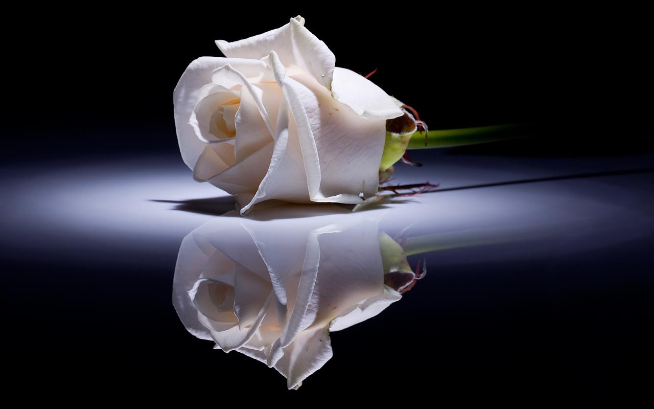 White Rose | Hd Desktop Wallpaper