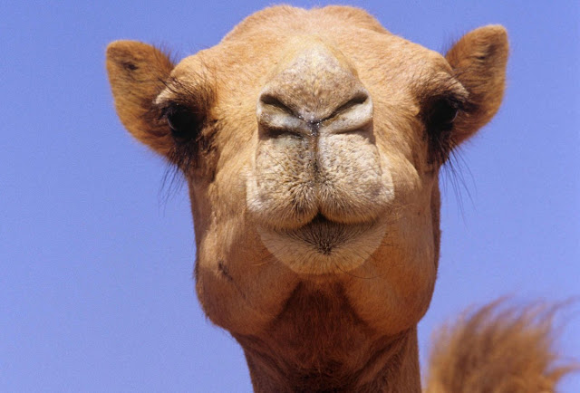 Sign Of Allah In Camel