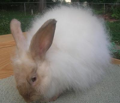 Jenis-jenis kelinci anggora perancis