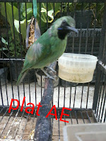 cucak hijau mini gacor
