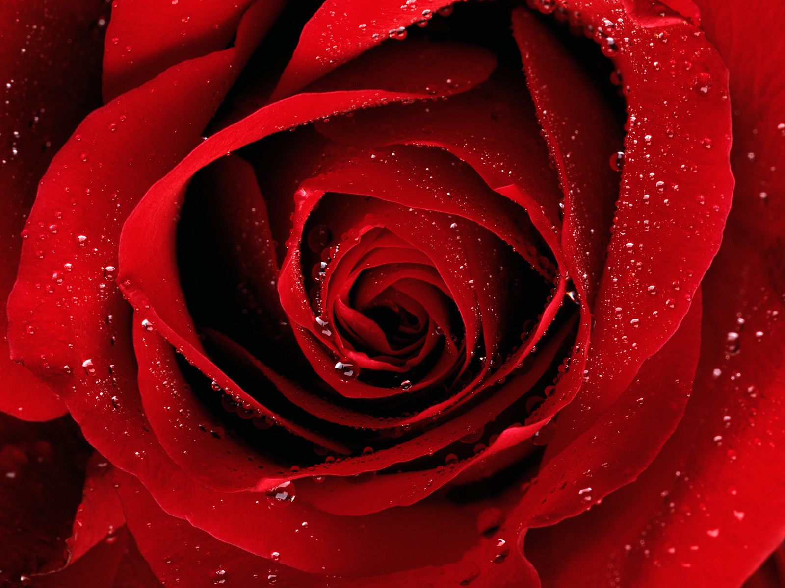 red roses wallpapers-#3