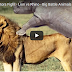 Amazing Predators Fight - Lion vs Rhino - Big Battle Animals Real Fight - rhino, lion, animal