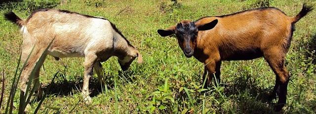 Peternakan, Ternak Kambing, Macam-macam kambing asli indonesia, jenis kambing yang banyak dibudidayakan di Indonesia, kambing merica, kambing kacang, kambing pe, kambing samosir