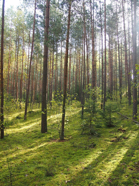 Lithuanian forest right outside of Vilnius