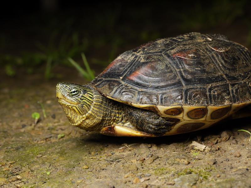 箱龜盒子_兩爬記錄: 斑龜