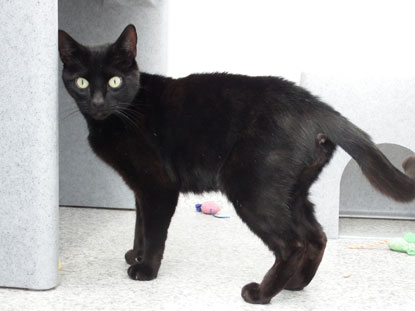 Black cat Freddie is looking for a home