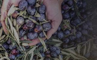 Κρήτη: Άγνωστοι μαζεύουν τις ελιές των παραγωγών και κλέβουν τη σοδειά τους