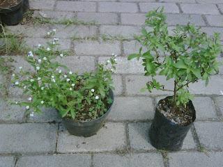 bibit-tanaman-stevia.jpg