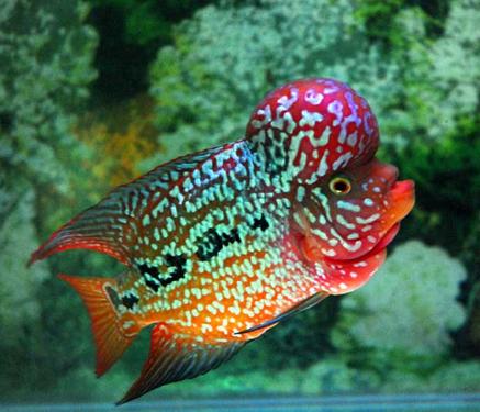Gambar Ikan Louhan Termahal Dan Tercantik  IKAN LAGA