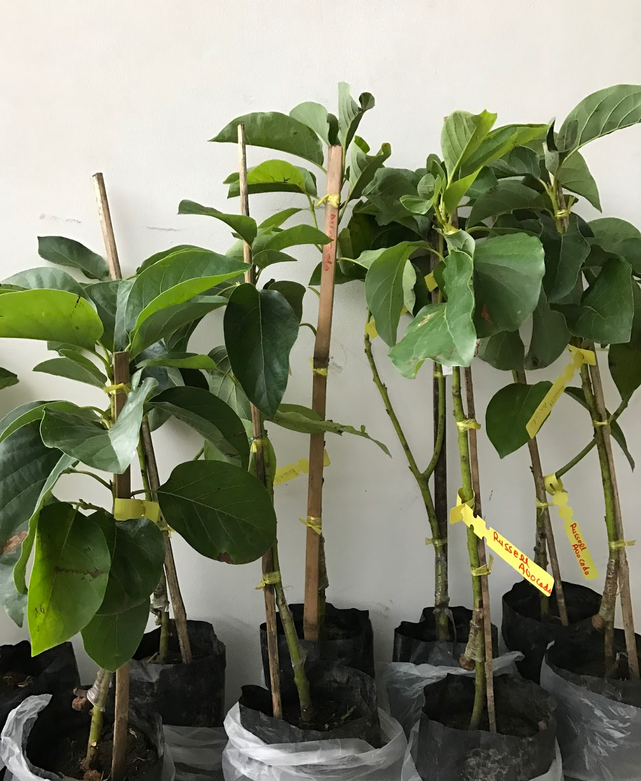 Plants For Sale Grafted Avocado Russell