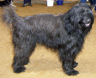 Catalan Sheepdog-pets-dog breeds