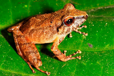 A new frog species from the lowlands of the Peruvian Amazon