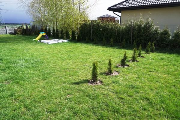 tuje ogródek