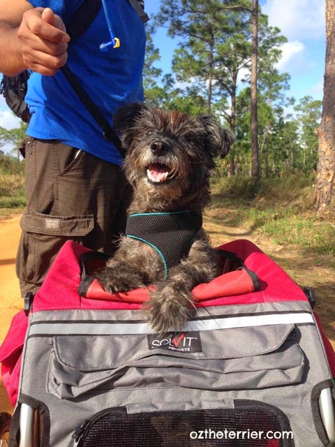 Oz the Terrier in his Solvit Products HoundAbout II Bike Trailer in Highlands Hammock State Park