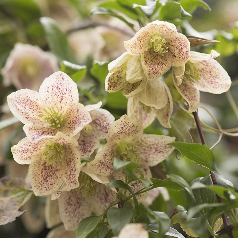 flores de clematis con forma de campanilla de color limon cremoso y moteada que florecen en invierno