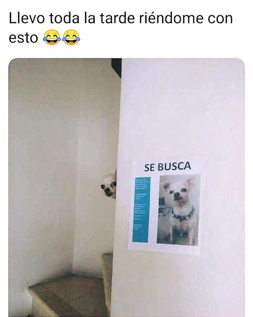se busca perro, chihuahua