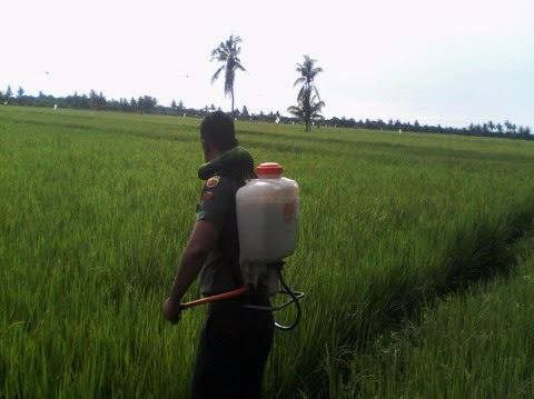 Untuk Mengantisipasi Penyakit Blas, Kopda Budi Anhar Dampingi Petani Lakukan Penyemprotan