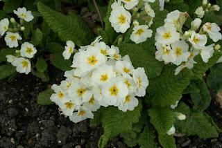 Primula elatior - Primevère élevée - Primevère des bois - Coucou des bois