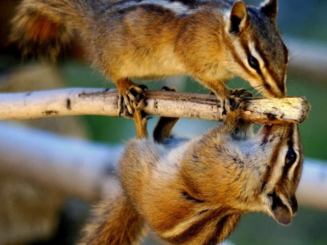 Rodents Animal wallpapers