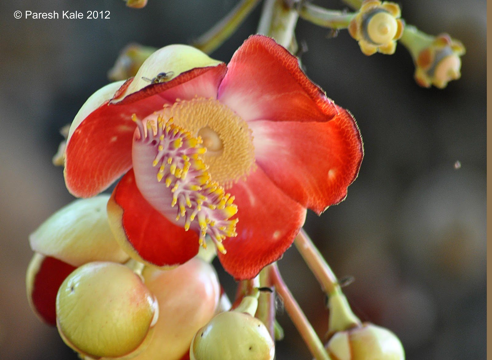 Flowering Trees - Cannon Ball Tree ( नागचाफा
