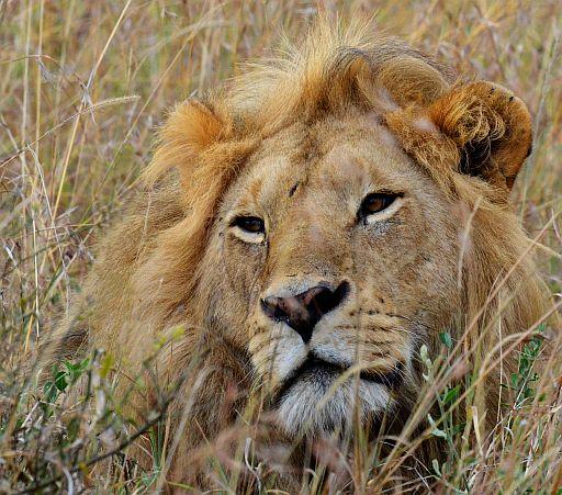 Elsen Karstad's 'Pic-A-Day Kenya': 'Kichwa Kubwa'  Male Lion