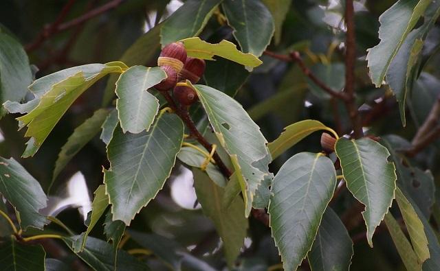 ROBLE JAPONÉS Quercus glauca