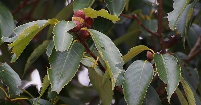 Quercus%2bglauca%2b15933434826_847fc60735_o%2b-%2bcopia