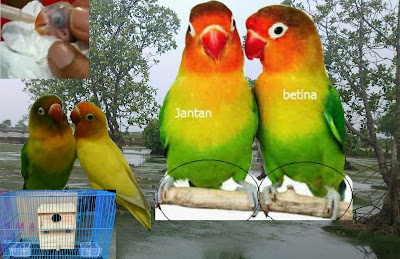 Cara Berternak Burung Lovebrid