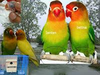 6 Langkah Dasar Yang Perlu Diperhatikan Berternak Burung Lovebrid Untuk Pemula