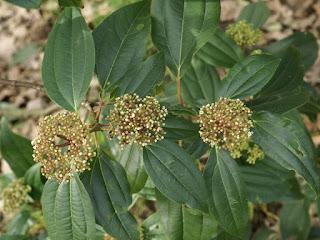 Viorne à feuilles de cannelle - Viburnum cinnamomifolium