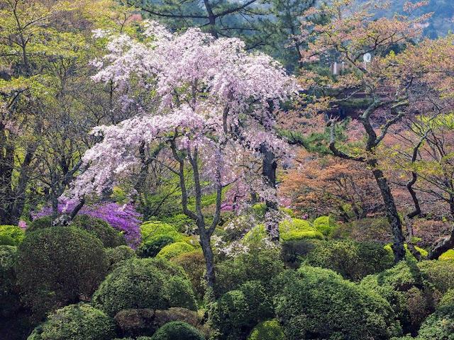 東海道 国道1号 蓬莱園 桜