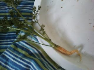 Premature Carrot