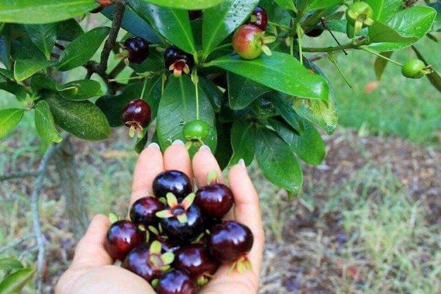 Cherry brazil đã trồng thành công ở Việt Nam 53435093_121466752283322_1976699418845380608_n