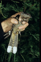 REPORT ON NIGHTJARS IN WELSH FORESTS