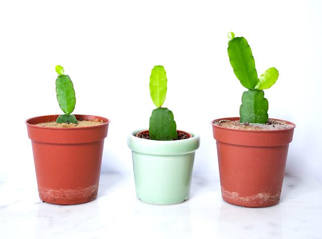 cactus, easter cactus, plant, diy, home, garden, urban, urban gardening, vegan