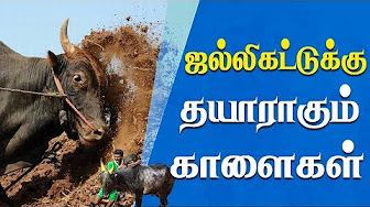 Bulls to ready Jallikattu | IBC Tamil Tv