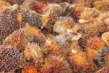 11 Hal Yang Perlu Diperhatikan Dalam Pertanian Kelapa Sawit Agar Produksi Buah Maksimal