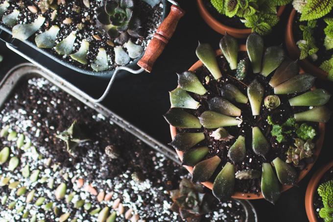 propagating succulents,