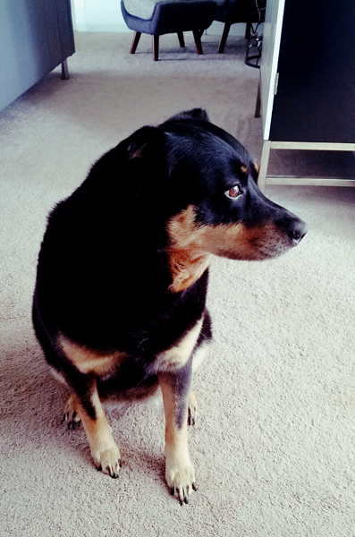 image of Zelda the Black and Tan Mutt sitting in the living room, looking out the dining room window