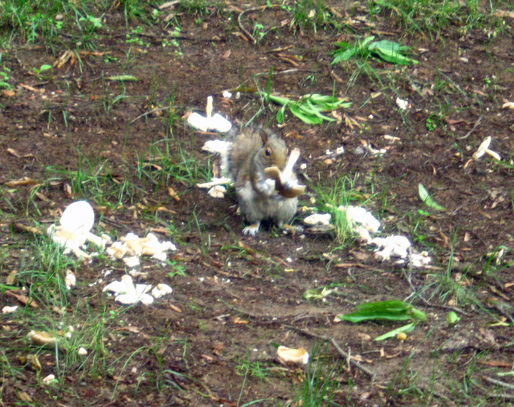 Squirrel Eating Wild Mushrooms