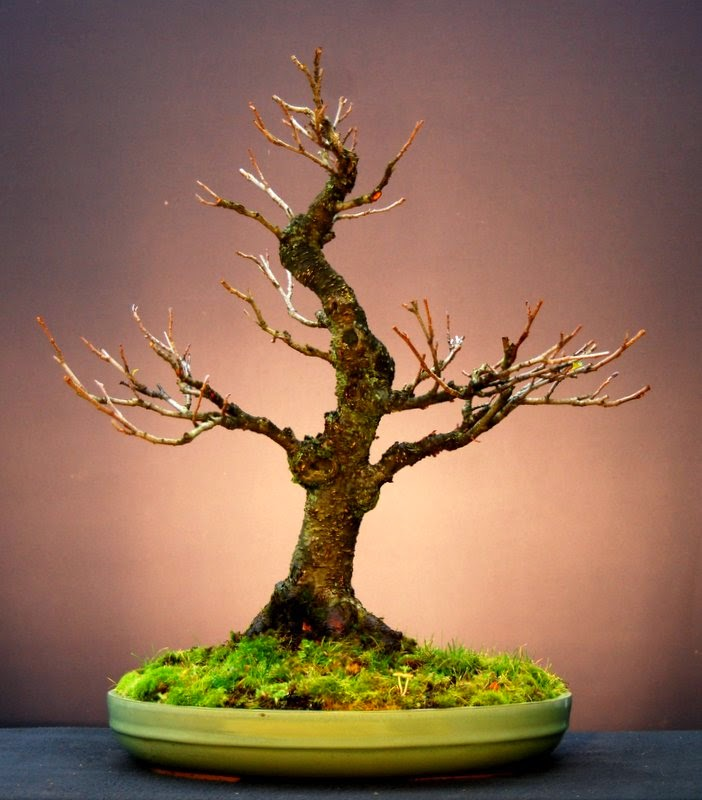 jupp s bonsai blog drei mal umtopfen bitte. Black Bedroom Furniture Sets. Home Design Ideas
