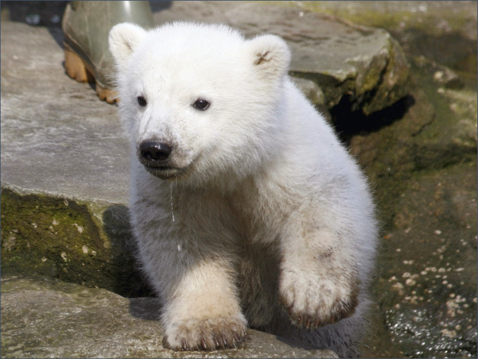 Baby polar bear wallpapers |Funny Animal