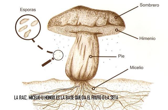 Senda rural cultivo de champi ones - El moho es un hongo ...